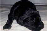 Picture of Black Male Shepadoodle