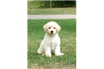 Picture of Cream colored female Shepadoodle