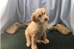 Picture of Gold colored male Shepadoodle