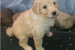 Picture of Gold Colored Female Shepadoodle