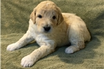Picture of Tan/Cream Colored Male Shepadoodle