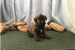 Picture of Female Brindle Shepadoodle