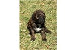 Picture of Male brindle pup