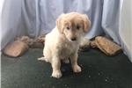 Picture of Cream colored male Shepadoodle