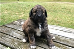 Picture of Brindle colored female Shepadoodle