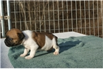 Picture of Olde English Bulldogge puppies for Sale $800.00