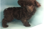 Picture of Sable Male Poodle