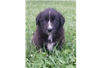English Shepherd for sale