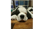 Picture of Cindy Lou AKC Rough Coat Half Mask