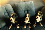 Picture of Akc Berner Pups! Males