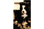 Picture of Akc Berner Pups- Athena
