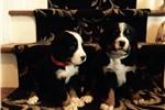 Picture of Akc Berner Pups! Hera