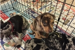 Picture of NALC Registeted Catahoula Puppies