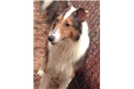 Picture of AKC Sheltie Pup. Male