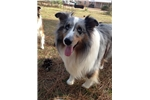 Picture of AKC Dark Sable Sheltie Male