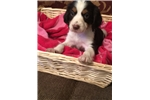 Picture of English Springer Spaniel Female Pup
