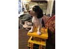 Picture of English Springer Spaniel Male Pup