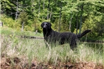 Picture of a Curly Coated Retriever Puppy