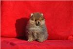 Picture of Mini pomeranian female for sale