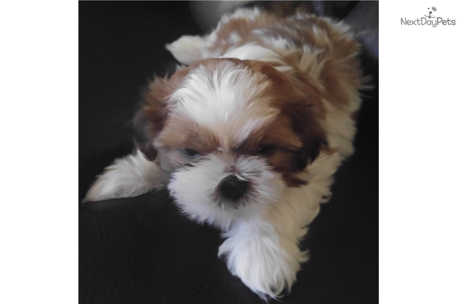 White Shih Tzu Puppies For Sale In Texas