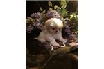 Picture of Cuddly Japanese Chin Baby