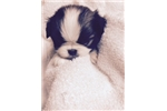 Picture of Japanese Chin Chocolate Tri-Color!!