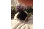 Picture of Japanese Chin Baby Girl