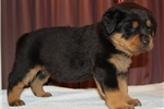 Picture of AKC beautiful Rottie female pup born on Christmas
