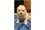 Picture of AKC Beautiful Chow Chow puppies