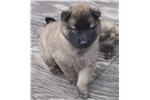 Picture of Beautiful Belgian Tervuren boy puppy