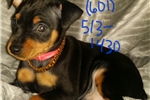 Picture of AKC Miniature Pinscher Puppies