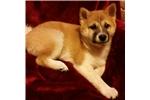 Picture of ACA Shiba Inu female puppy
