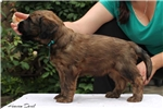 Picture of Male Briad puppy