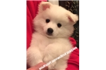 American Eskimo Dogs for sale