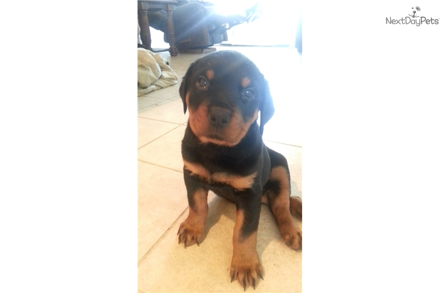 Rottweiler puppies for sale in dallas tx