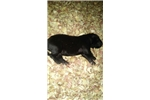 Picture of FILA PUPPY FOR SALE
