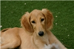 Beautiful gold male saluki Puppy | Puppy at 40 weeks of age for sale