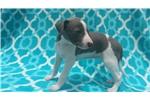 Picture of AKC Italian Greyhound Blue WildIrish Marked FEMALE