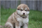 Picture of AKC REG Limited /pet homes only