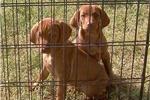 Picture of AKC Vizsla Pups For Sale