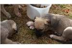 Picture of Pure irish wolfhound puppies for sale