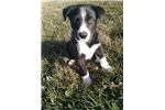 Picture of Border Collie Puppy's