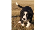 Featured Breeder of Border Collies with Puppies For Sale