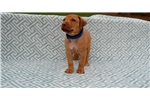 Picture of Micro-chipped Rhodesian Ridgeback