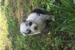 Picture of Akc blue Merle male