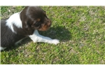 Picture of AKC Brittany puppy in Opelika Al