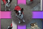 Picture of Apple Head Chihuahuas AKC