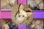 Picture of AKC Apple Head Chihuahua Dolllie