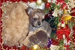Picture of Beautiful Tiny ShiChi Male Puppy    Chewbacca