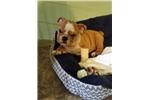 Picture of English Bulldog CAPON!